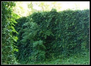 Borostyán kerítés